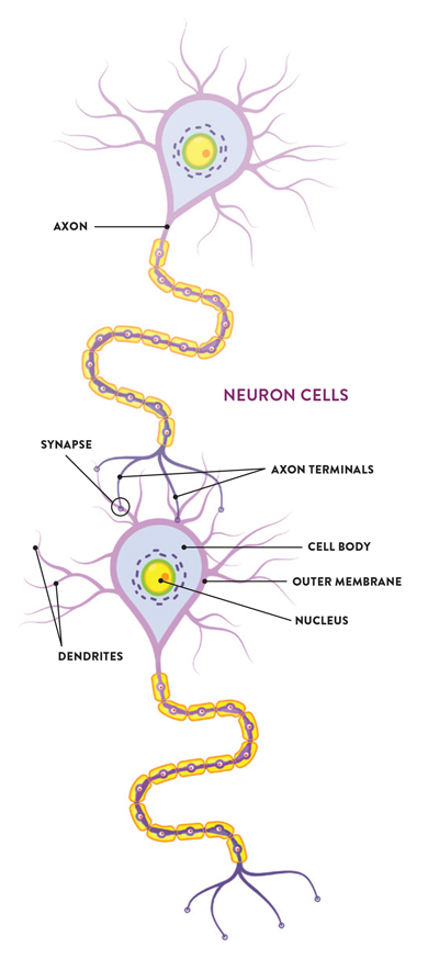 Neurons (or nerve cells) are specialized cells that transmit and receive electrical signals in the body. Neuron-to-neuron connections are made onto the dendrites and cell bodies  of other neurons. These connections, known as synapses,  are the sites at which information is carried from the first neuron (the presynaptic neuron) to the target neuron (the postsynaptic neuron). The synapses are the areas Frick  and her research team are studying in order to understand  the role estrogen plays in the neurotransmissions that lead  to memory formation and retention.