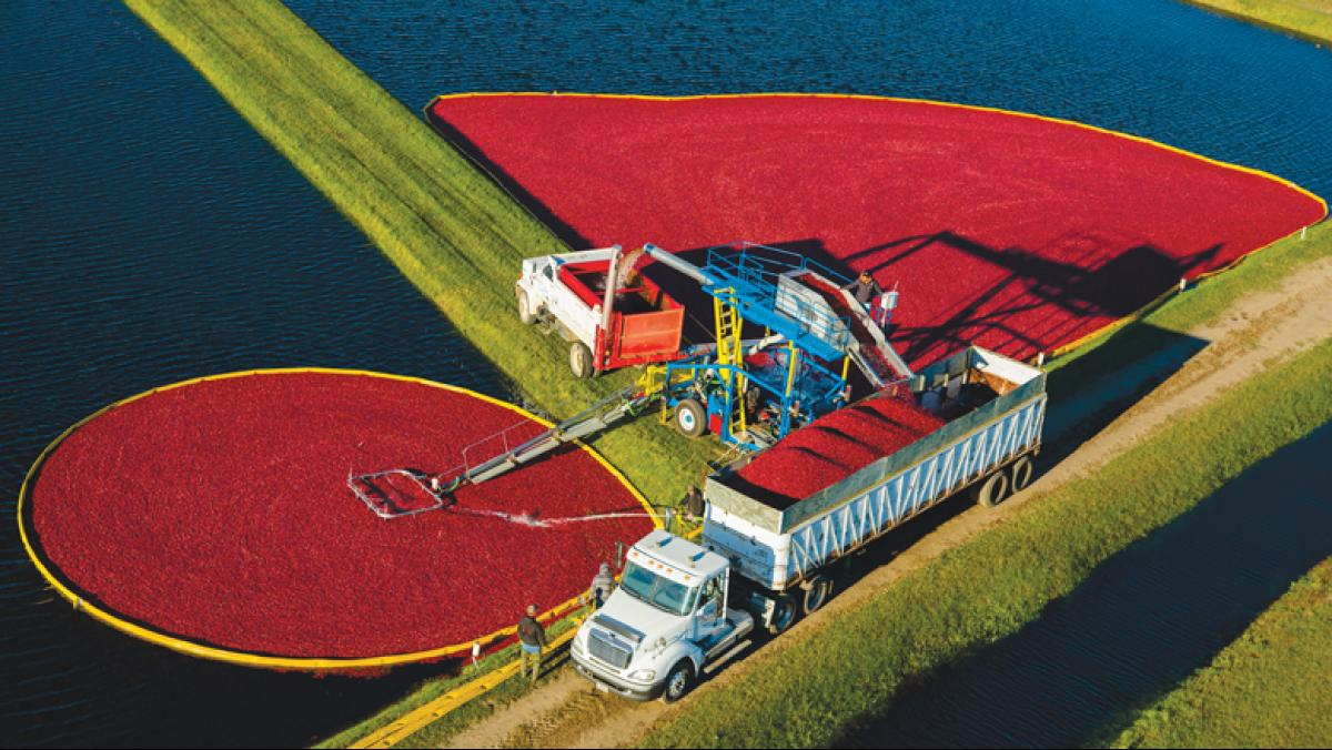The town of Warrens in Monroe County, where these cranberries are being harvested, is the epicenter of cranberry production in Wisconsin. Every year the town celebrates the fall harvest with the Warrens Cranberry Festival, the largest cranberry-related arts and crafts festival in the United States. Photo courtesy of the Wisconsin State Cranberry Growers Association.