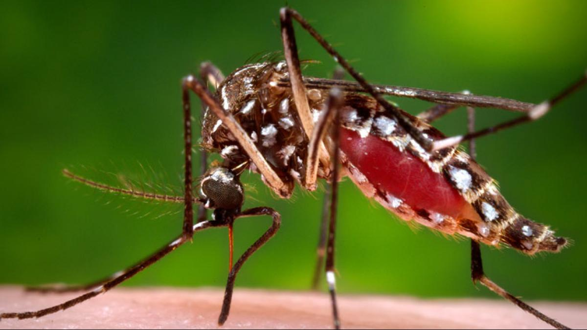 A female Aedes aegypti mosquito in the process of acquiring a blood meal from a human host. Photo credit: James Gathany/Centers for Disease Control and Prevention