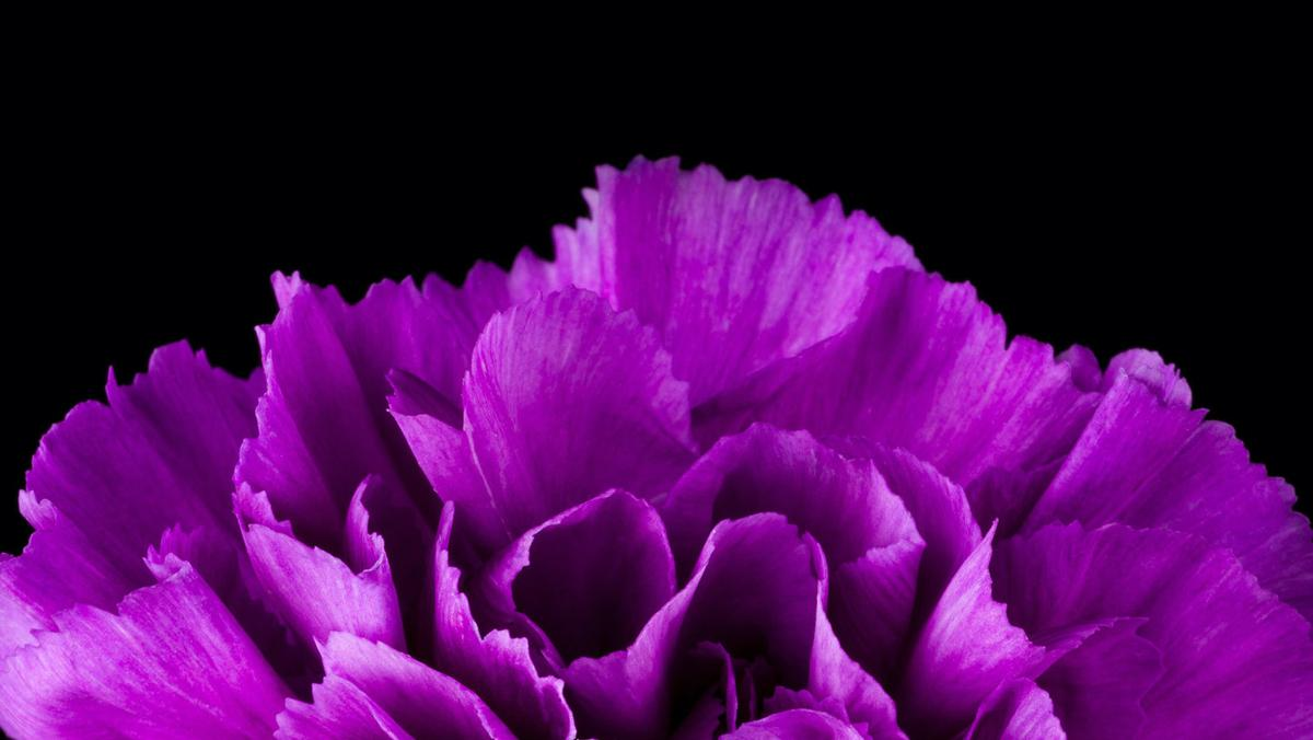 Closeup of purple carnation
