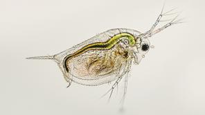 Daphnia, or water fleas, such as this are found in lakes and ponds across the world. Because of their pivotal position in food webs, daphnia are widely utilized as an indicator species to assess the response of ecosystems to environmental change.