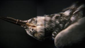 Amy Fichter, Black Tern (Chlidonias niger surinamensis), Holga 120N, Fuji Pro 400H, 2015. Specimen courtesy of the Milwaukee Public Museum.