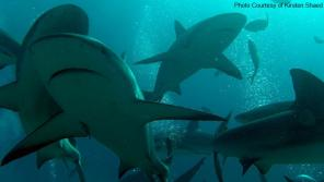 My underwater encounter with Caribbean reef sharks, Nassau, Bahamas.