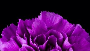 Closeup of purple carnation