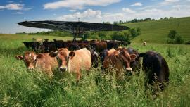 Driftless Area farmer Vince Hundt's pasture-grazed cows gather under Shade Haven.