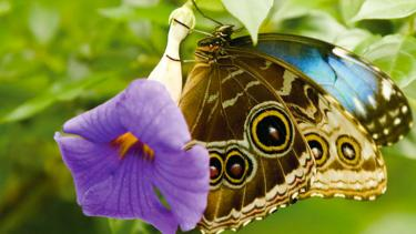 Among the largest butterflies in the world, the blue morpho is severely threatened by deforestation of tropical forests and habitat fragmentation. Yet these and other tropical butterflies may hold the key to discovering pharmaceuticals that will benefit humankind.