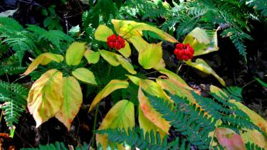Wild ginseng plants in eastern Iowa County. Wild-simulated plants sown from responsibly gathered seeds, lightly cultivated and sustainably harvested on long rotations in private woodlands, can help wild ginseng populations rebound from over harvesting and poaching. Photo by Jerry Davis.